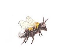 Biene einzeln