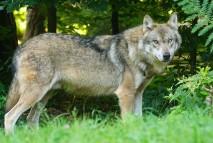 Wolf wollef